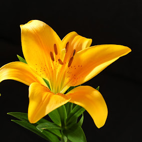 Single Lily! by Nicholas Cain - Nature Up Close Flowers - 2011-2013