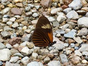 Photo: YELLOW-RINGED HELICONIAN  (XANTHOCLES LONGWING)-heliconius xanthocles napoensis--RIO CHALUAYACU, NAPO