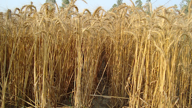 Photo: SWI-grown wheat at harvesting. Lalbojhi, Kailali, Nepal.  2011 [Photo provided by RB Khadka]