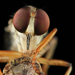 am i cute? by Bobby Worotikan - Animals Insects & Spiders ( robberfly )