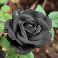 Download Black Rose Hd Wallpaper Free For Android Black Rose Hd Wallpaper Apk Download Steprimo Com