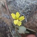 Ivy goodenia