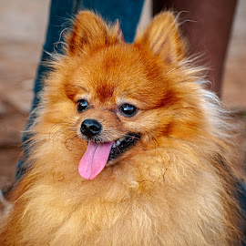 orange by Gunbir Singh - Animals - Dogs Portraits ( nikon, orange, dog show, dogs, necklace road, gunbir )