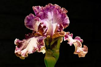 Photo: Dry brush (4/8/1) - ruffled violet iris