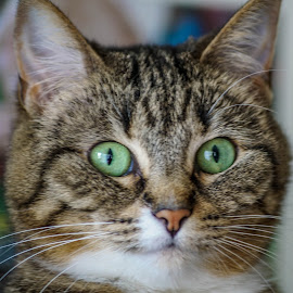 Green Eyes by Wendy Alley - Animals - Cats Portraits (  )