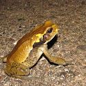 Cundinamarca toad