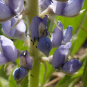 Monomorium Ants