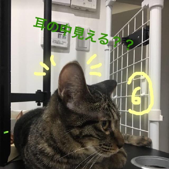 猫の耳掃除のやり方~必要性と具体的な手順まで、正しい耳かき方法