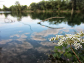Photo: Elderflowers in front of a pond reflecting the clouds at Eastwood Park in Dayton, Ohio.