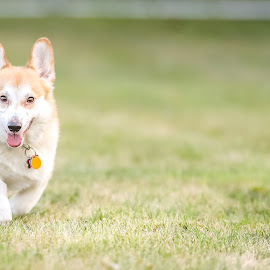 Corgi by Peter Marzano - Animals - Dogs Playing