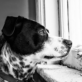 Looking Through the Window by Finley Delouche - Animals - Dogs Portraits ( face, spotted, black and white, still life, sad, collar, spot, eyes, window, side, pet, ears, view, dog, portraits, profile, animal )