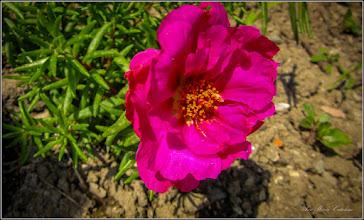 Photo: Floarea de piatra (Portulaca grandiflora) - din Turda, pe Str. Salinelor, la curte - 2019.06.08
