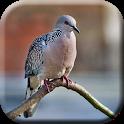 Suara Pikat Burung Tekukur Mp3 icon