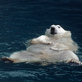 Polar bear in zoo by Allan Wallberg - Animals Other (  )