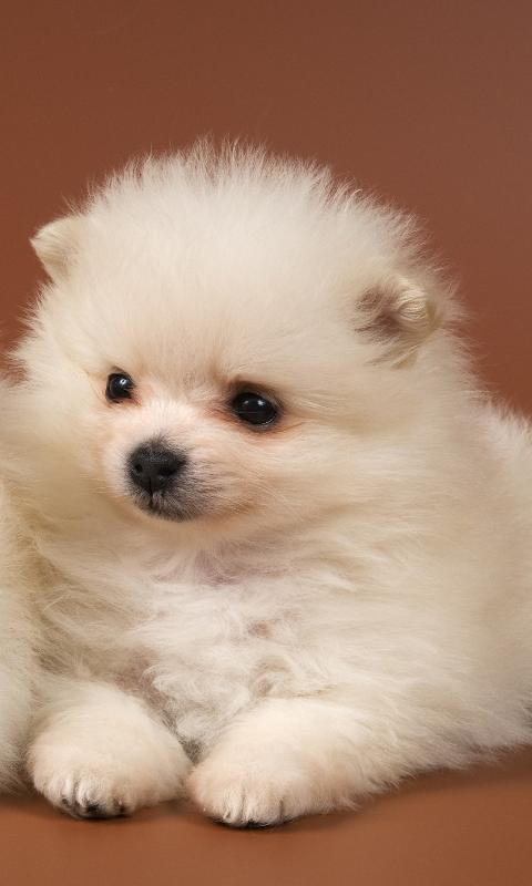 Pomeranian Spitz Dogs Wallp- screenshot