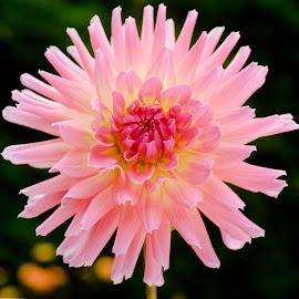 Pinky Dahlia #7 by Jim Downey - Flowers Single Flower ( red, pink, white, dahlia, yellow )