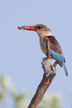 Photo: Brown Hooded Kingfisher, D'Nyala Game reserve, South Africa