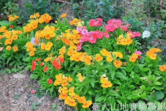 Photo: 拍攝地點: 梅峰-溫帶花卉區 拍攝植物: 愛蜜西 拍攝日期:2013_09_28_FY