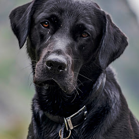 Bruno's Profile Pic by Andrew Robinson - Animals - Dogs Portraits ( retriever, puppy, dating, dog, labrador )