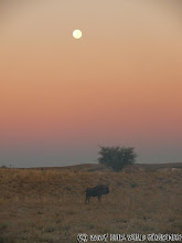 Photo: Vychod měsíce nad Kgalagadi a pakoněm na Botswanské straně / Moonrise over Kgalagadi and Wildebeest on Botswana side