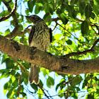 Australasian Figbird