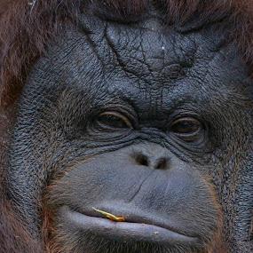 orang utan male big by Willy Ekariyono - Animals Other Mammals ( primate, orangutan, endemic, willy ekariyono, endangered species, indonesia )