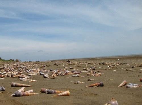Bãi biển Ba Động mùa lạnh, ngon ốc viết luộc sả