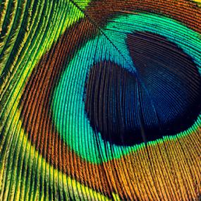 Peacock feathers macro by Vrinda Mahesh - Artistic Objects Other Objects ( wall art, peacock feathers, macro, colorful, wallpaper, object, close up, peacock, feathers macro,  )