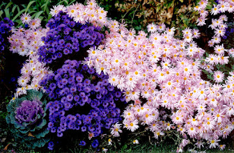 Photo: Nativar (a cultivar of a native plant) Purple Dome Aster compliments Clara Curtis Chrysanthemum.