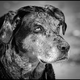 Catahoula by Dave Lipchen - Black & White Animals ( catahoula )