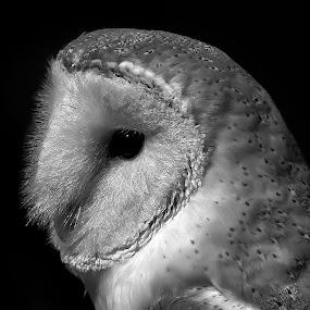 by John LeBlanc - Black & White Animals ( owl other, birds,  )