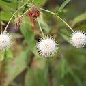 Buttonbush
