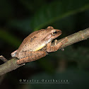 Temple Tree Frog