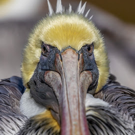 Brown Pelican by Don Young - Animals Birds ( brown pelican, close up, nature, bird photography, birds, portrait )