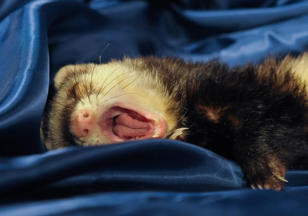 Image result for ferret pet