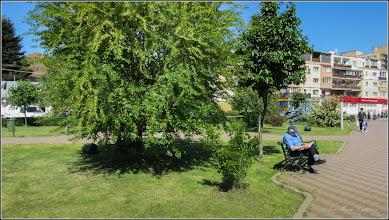Photo: Roșcovul (Ceratonia siliqua) - din Parcul teilor - 2017.05.29 Album:  http://ana-maria-catalina.blogspot.ro/2017/06/roscovul-album-pe-google13ceratonia.html