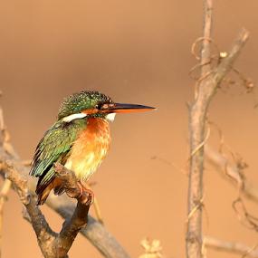 Kingfisher by Manoj Kulkarni - Animals Birds ( bird, nature, blue, common, green, background, beak, kingfisher, branch, wildlife, brown, long, small )