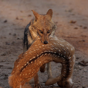 jackal by Arun Baweja - Animals Other Mammals