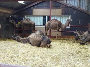 Photo: Jonge kamelen, de pubers.