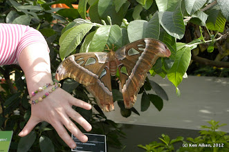 Photo: Atlas moth (Attacus atlas) or Cobra moth is the world's largest moth with wing span of 10 inches.