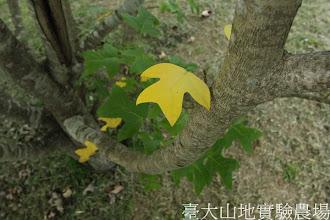 Photo: 拍攝地點: 梅峰-一平臺 拍攝植物: 馬褂木 拍攝日期:2012_09_27_FY