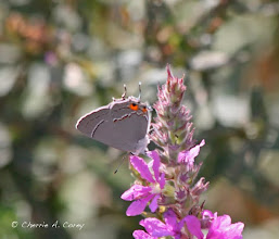 Photo: Gray hairstreak (Strymon melinus), male, 8.21.10