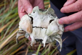Photo: A porpoise skull