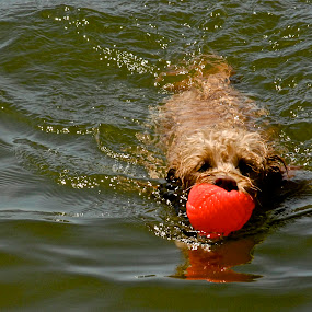 Starla playing fetch by Robert Remacle - Animals - Dogs Playing (  )