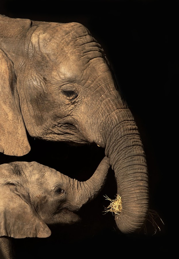 Mother and calf  by Tracy Morris - Animals Other Mammals ( calf, touching moment, animals, elephant, mother and son )