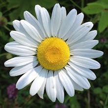 Photo: Beautiful daisy at SilverHills.ca #intercer #dandelion #plant #plants #nature #green #white #wind #fly #britishcolumbia #canada #trail #silverhills #forest #tree #flower #flowers #daisy #petal #petals #yellow - via Instagram, http://instagram.com/p/cMq5kGpfvJ/