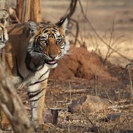 Royal Bengal Tiger by Kedar Banerjee - Novices Only Wildlife ( stripes, national forest, tiger, india, wildlife )