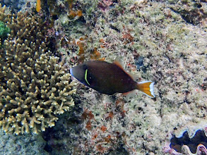 Photo: Sufflamen chrysopterus (Flagtail Triggerfish), Miniloc Island Resort reef, Palawan, Philippines.