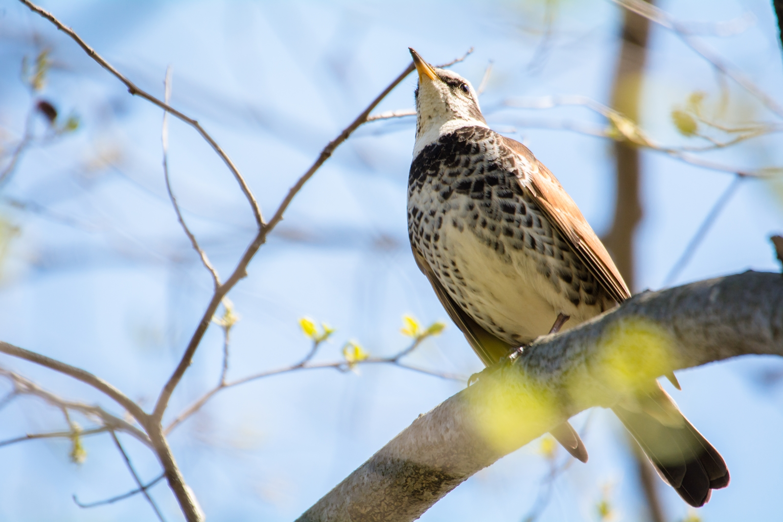 Photo: 萌える喜び Sprouted pleasure.  小さな芽たちが 次々と開いていく 訪れる緑の季節 希望を胸に喜びを浮かべて  Dusky thrush. (水元公園のツグミ)  #IslandGallery_BrightLights +Takahiro Yamamoto +Island Gallery  #cooljapan #birdphotography #birds  #sigma #kawaii   Nikon D7100 SIGMA APO 50-500mm F5-6.3 DG OS HSM (2枚追加:Added 2 photo)  小鳥の詩朗読 https://youtu.be/-vaFMdhQpAo?list=PL2YtHGm0-R3qVsaqvQe9OYdJFCkI98wzF