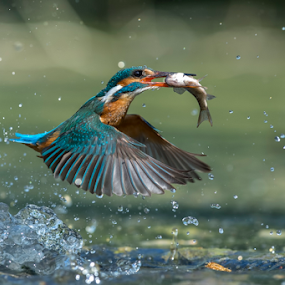kingfisher in action by Riccardo Trevisani - Animals Birds ( riccardo trevisani, wild, kingfisher, wildlife, nikon, italy, birds )